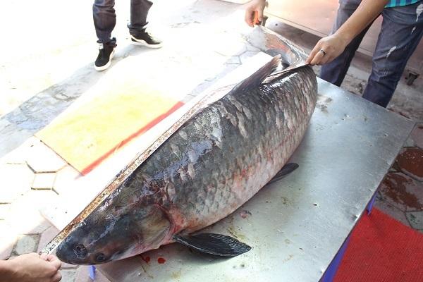 Cá trắm khổng lồ 42 kg xuất hiện xôn xao Hà Nội