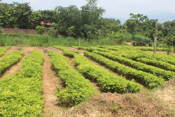 Mộng làm tỷ phú, dân Tam Đảo bỏ vải trồng sưa đỏ
