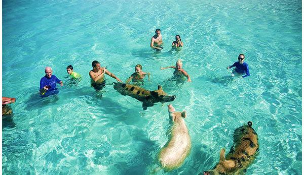 Tắm biển cùng với... lợn - Chuyện kì lạ thu hút nghìn du khách ở Bahamas