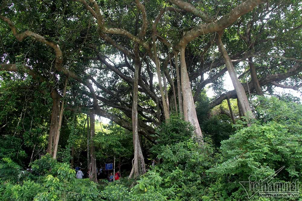 cây di sản, Sơn Trà, Đà Nẵng