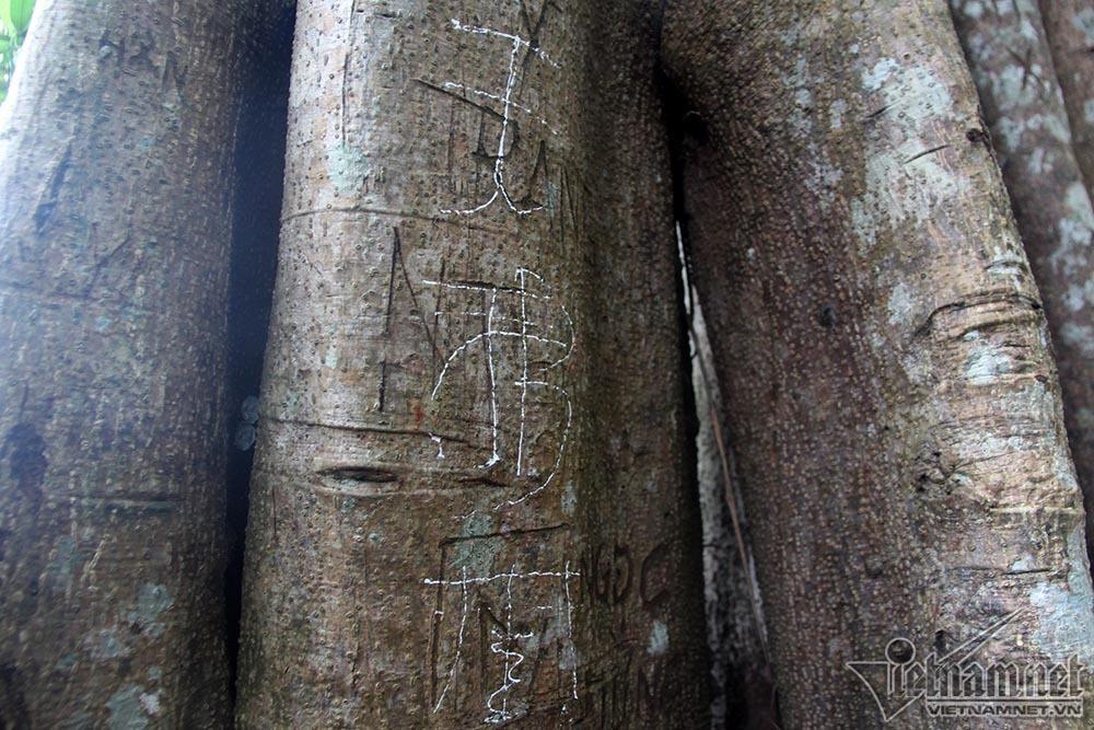 Cây 800 tuổi ở Đà Nẵng 'đau đớn' vì chằng chịt 'lời tỏ tình'