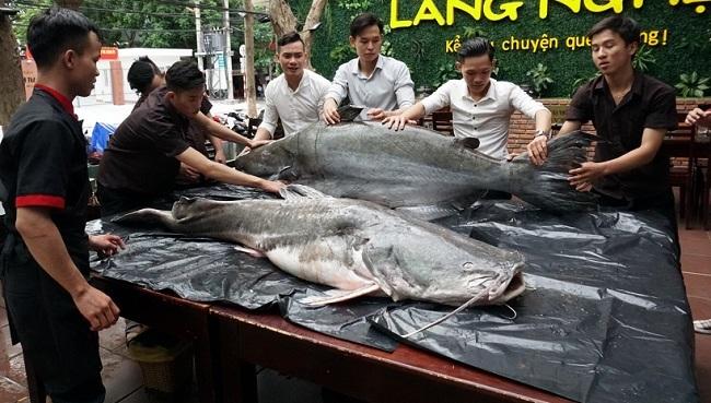 Cặp 'thủy quái' 200 kg xuất hiện gây xôn xao Đà Nẵng