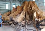 Chuyện ly kỳ quanh thần cây dầu rái gần 800 tuổi mọc ngược - ảnh 8
