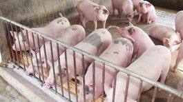 'Đại khủng hoảng' thịt lợn và cuộc giải cứu chưa từng có