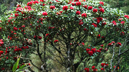 Đại gia chơi độc: Chi 4 tỷ mua hoa đỗ quyên cổ thụ