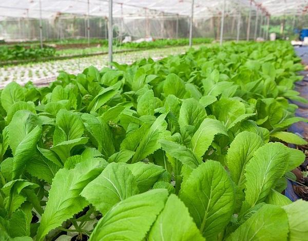 trồng rau sạch, rau vụ đông, nông nghiệp