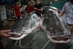Đại gia xẻ thịt cặp cá lăng 200kg làm đại tiệc mời khách