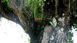 Lộc vừng cổ thụ bên vệ đường ở Nghệ An trả giá 500 triệu