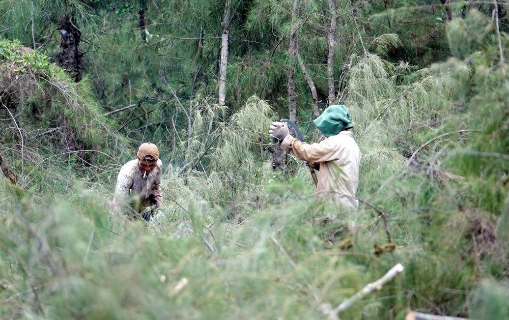 phá rừng, rừng phòng hộ, rừng dương, Quảng Ngãi