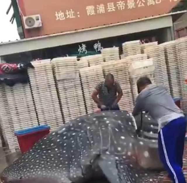 Cá khổng lồ 'diễu hành' trên phố
