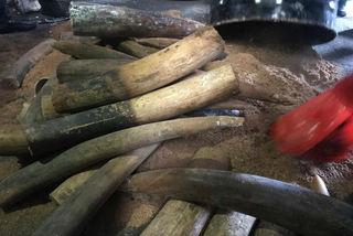 Phát hiện lượng ngà voi 'khủng' từ Châu Phi về VN