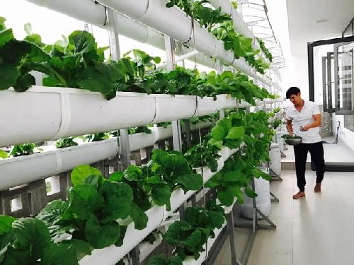trồng rau sạch, trồng rau ban công, sao Việt