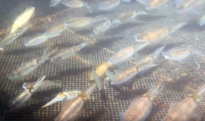 Mực sống đang bơi tung tăng 1 triệu/kg về Hà Nội cháy hàng