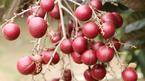Nhãn tím 'độc nhất vô nhị' miền Tây: Nhìn là mê, sờ là thích