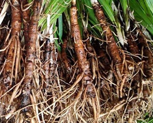 Cách phân biệt Sâm cau với các loại rễ cây dại