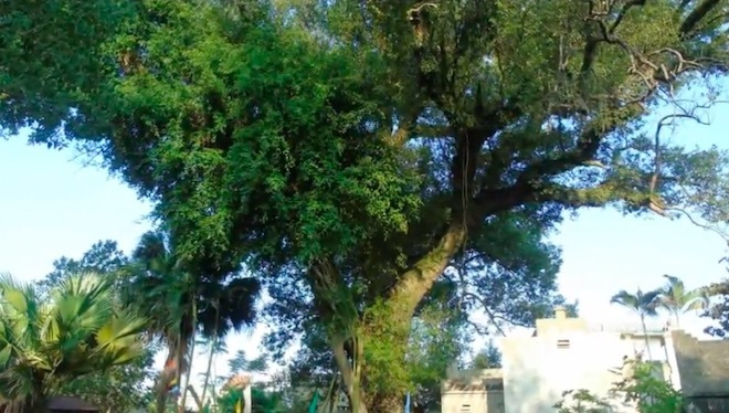 Chuyện đời của 'cụ cây' từng trải qua 7 thế kỷ tại Việt Nam