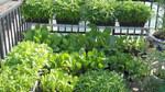 Liệu rau nhà trồng có phải là rau sạch?