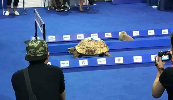 Rùa chạy nhanh hơn thỏ: Cổ tích là có thật