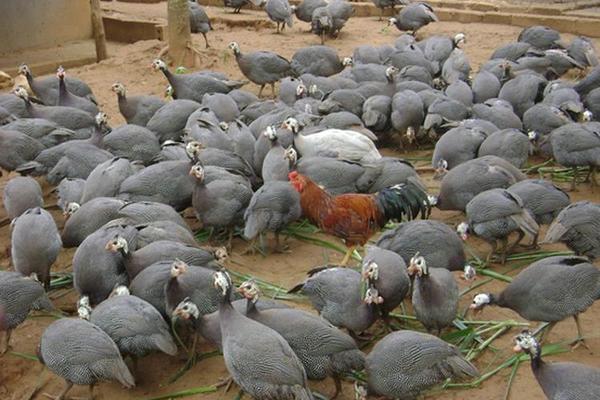 Kỹ thuật nuôi gà sao thả vườn