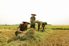Nữ chiến sĩ công an gặt lúa giúp dân chạy 'siêu bão'
