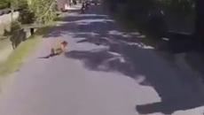 Nỗi sợ chó thả rông của người đi xe máy