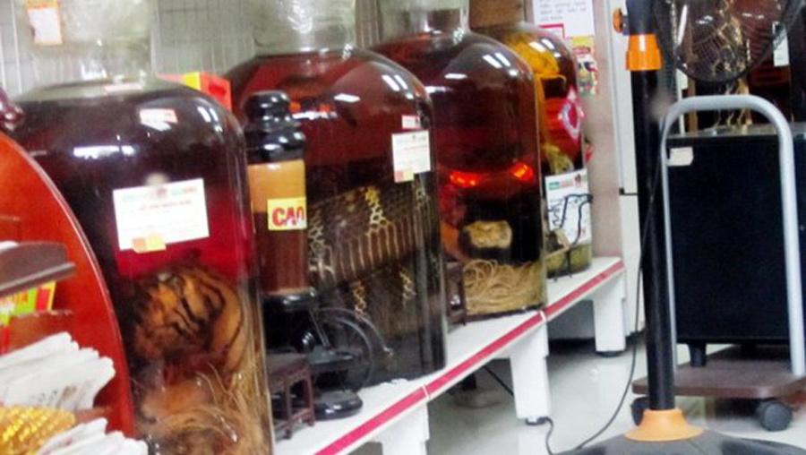 Hổ ngâm nguyên con trong hầm rượu nhà đại gia