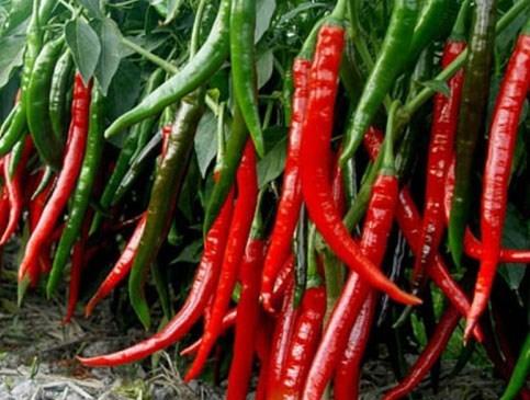 quả lạ,mít siêu dài,nông dân,ớt,chuối,nông sản,chanh