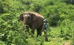 Hơn 20 năm, voi Đắk Lắk lại... mang bầu