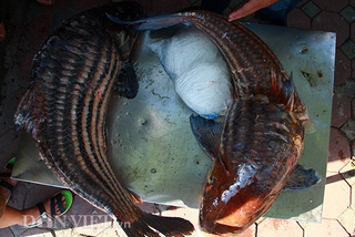 Cặp cá nhà giàu 'bay' từ Biển Hồ về Thủ đô giá hơn nửa chỉ vàng mỗi kg