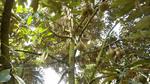 Phân bón Phú Mỹ tăng lợi nhuận cho sầu riêng Đắk Lắk