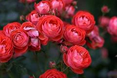 'Đột nhập' vườn hoa hồng cổ trị giá bạc tỷ của cô gái 9X ở Hà Nội