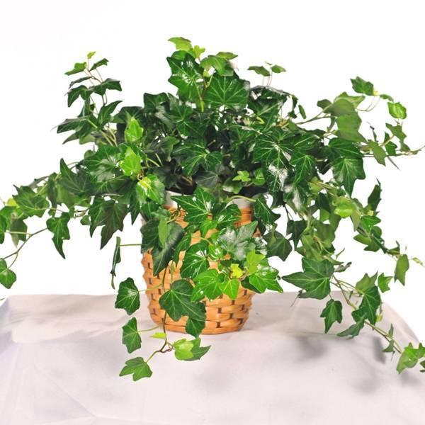 cây cảnh, cây giúp thanh lọc không khí, cây thường xuân
