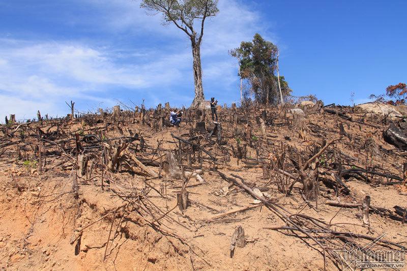 Bắt tạm giam 2 nghi phạm vụ phá rừng táo tợn ở Bình Định