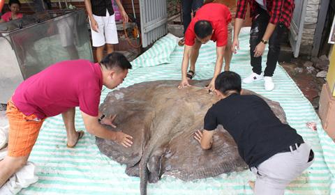 Cá đuối hơn 200kg 'bay' từ Thái Lan về Hà Nội