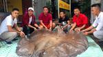 'Thủy quái' cá đuối nước ngọt 216kg, dài 3,2m chưa từng thấy ở Việt Nam