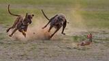 Hai chú chó săn không thể thắng nổi một con thỏ