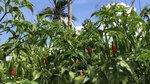 Ngắm 'vườn' ớt đặc sản 400.000 đồng/kg, dân không có đủ để bán