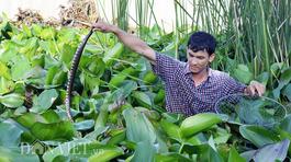 Cảnh rùng mình: Gạt đám bèo lục bình, ngàn con rắn lúc nhúc