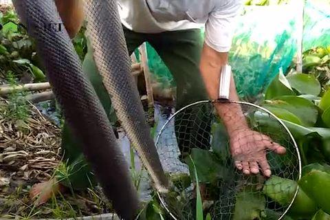 Cảnh đáng sợ: Gạt đám bèo lục bình, ngàn con rắn lúc nhúc