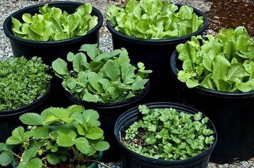 trồng rau sạch, các loại rau tháng 10, bắp cải