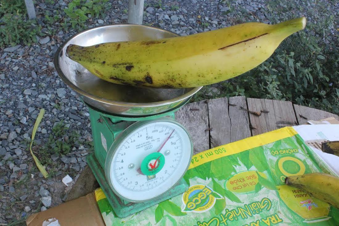 Mít dài cả mét, chuối nặng 1kg: Không dám ăn 1 mình