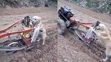 Chó đi cày như một người nông dân thực thụ