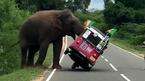 Voi rừng vật ngửa xe Tuk Tuk giữa đường, du khách hoảng sợ