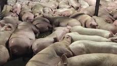 Vì sao lợn trước khi giết mổ bị tiêm thuốc an thần?