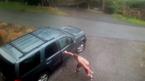 Gấu hoang đột kích ô tô gia đình gây hoảng sợ