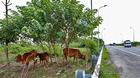 Cây trĩu quả, bò béo mẫm trên đại lộ Thăng Long