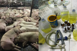 Tiêu hủy 3.750 con heo tiêm thuốc an thần, dừng lò mổ lớn nhất Sài Gòn