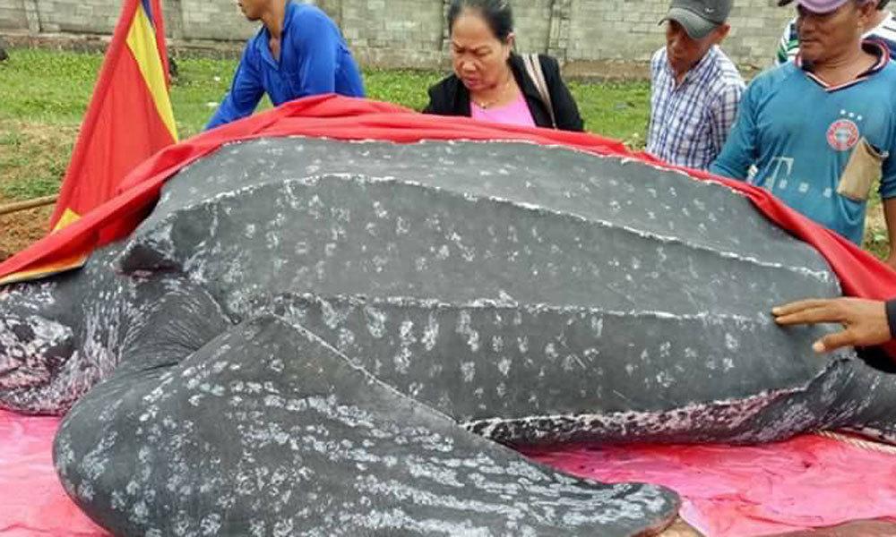 Ngư dân Mũi Né an táng rùa khế quý hiếm dài hơn 3m