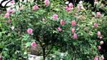 1.000 m2 trồng ngàn cây hoa hồng: Đất vàng Hồ Tây trồng hoa ngắm chơi