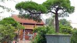 Cây Vạn tùng Côn Sơn Kiếp Bạc 200 năm tuổi: Giá hơn 2 tỷ